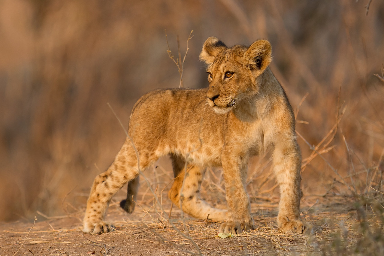 Lion cub climbs the dry river embankment while the lionesses are away