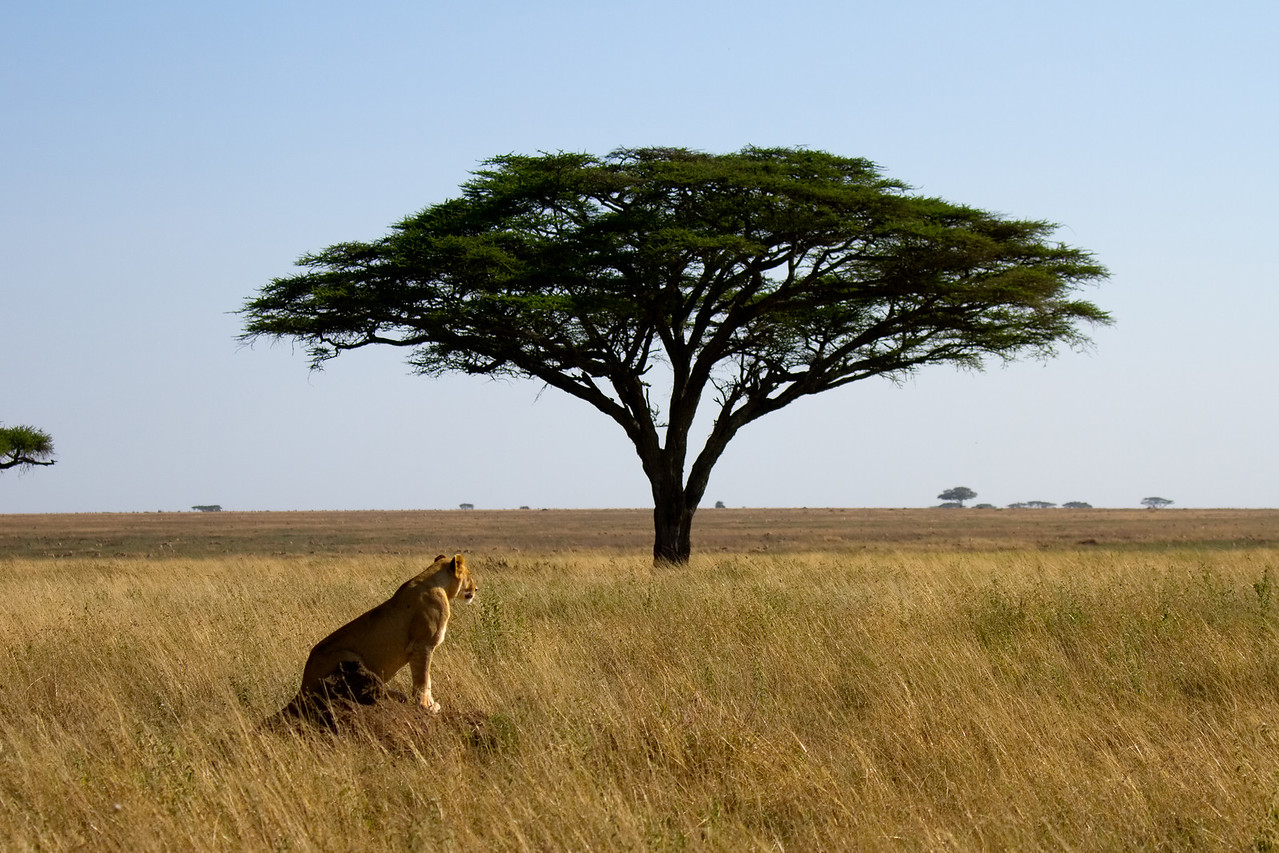 Lioness watches the plains