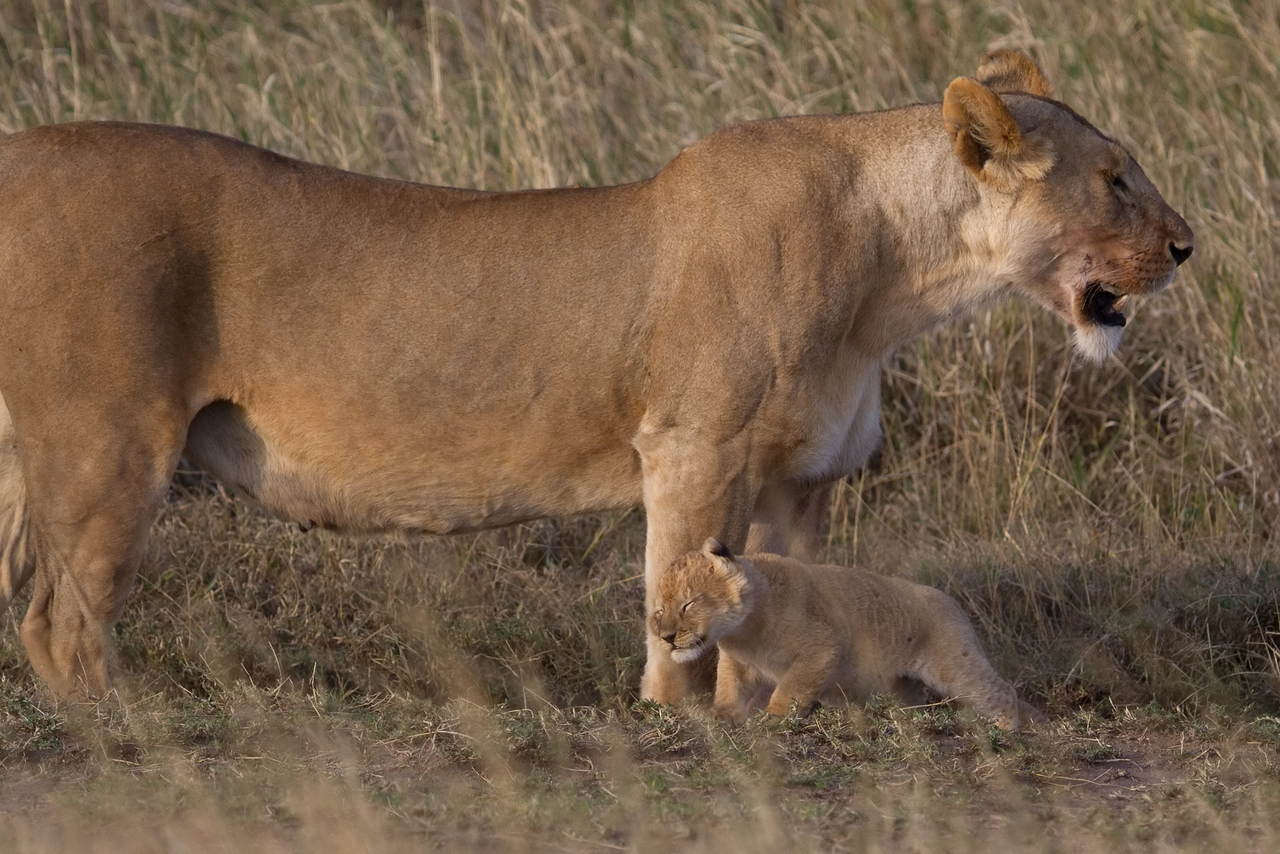 Lioness towers over her young cub