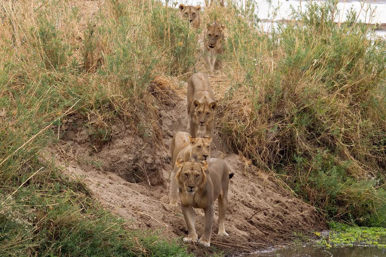 Lion pride on the hunt