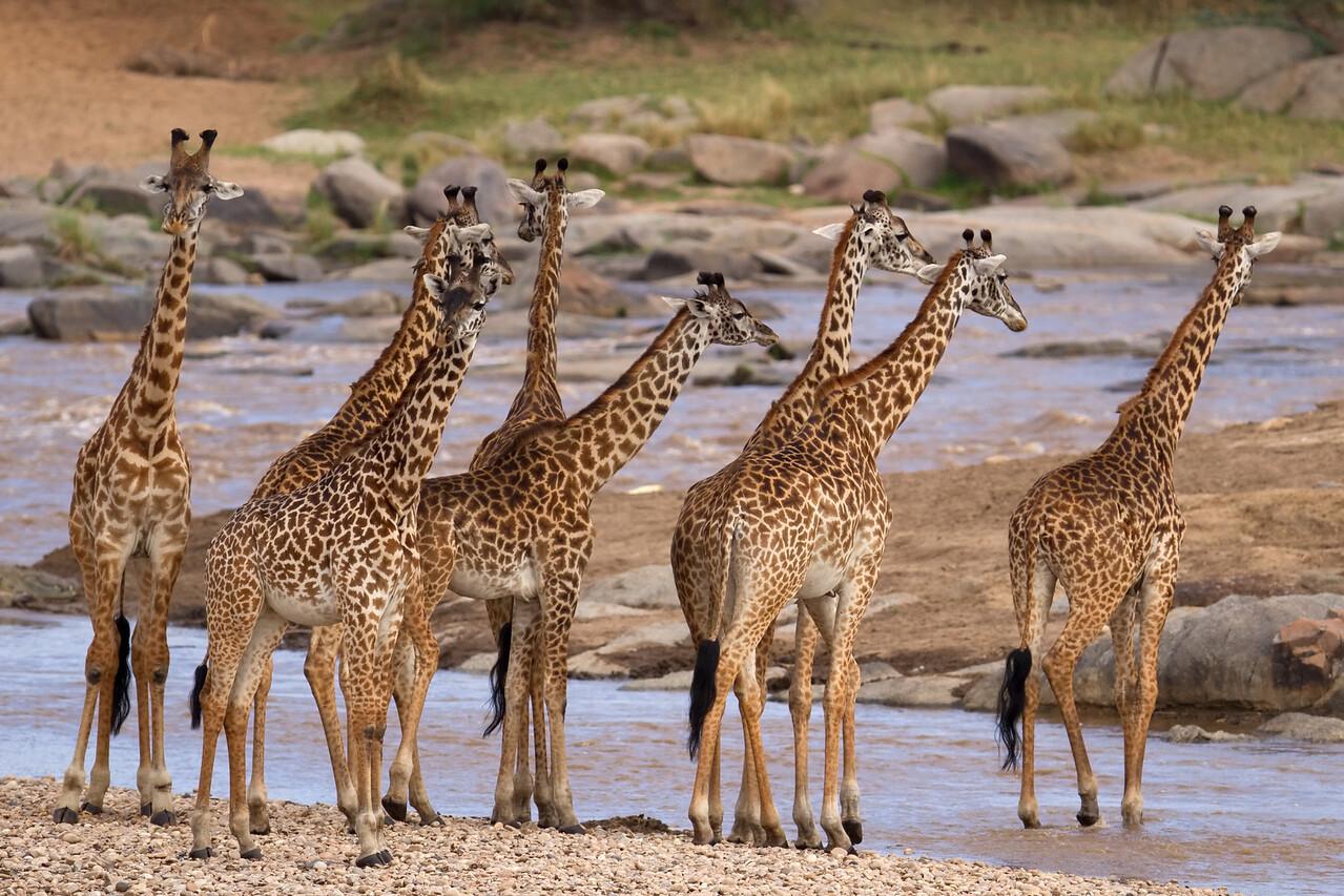 Giraffe building courage to cross the Mara River