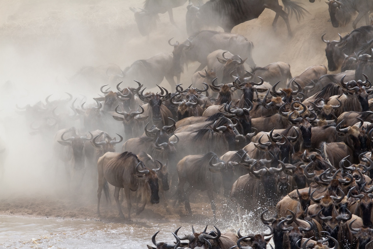 Wildebeest cross the Mara River