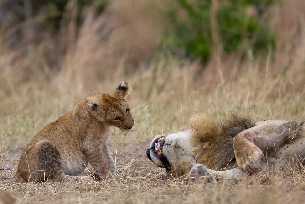 Young cub is fascinated by his dad