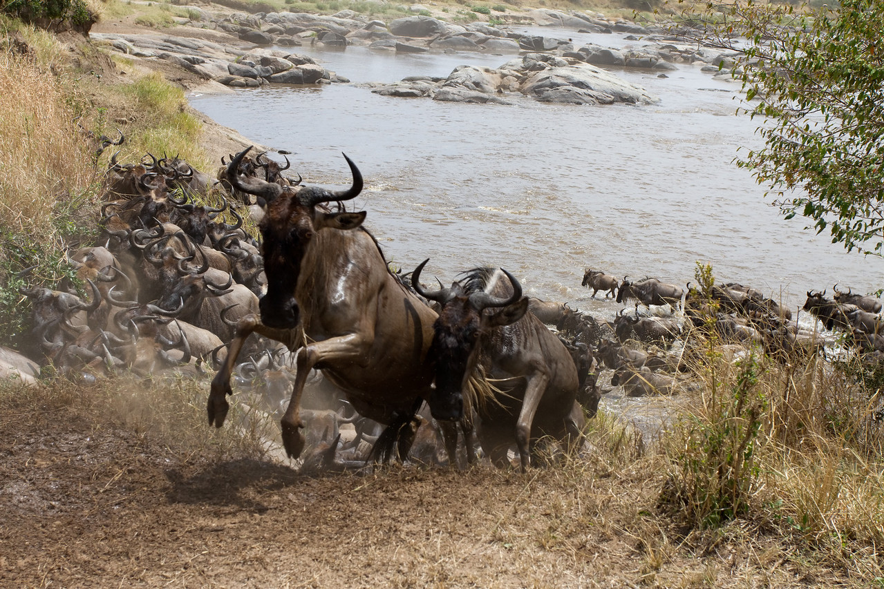 Wildebeest scales embankment after crossing the Mara River