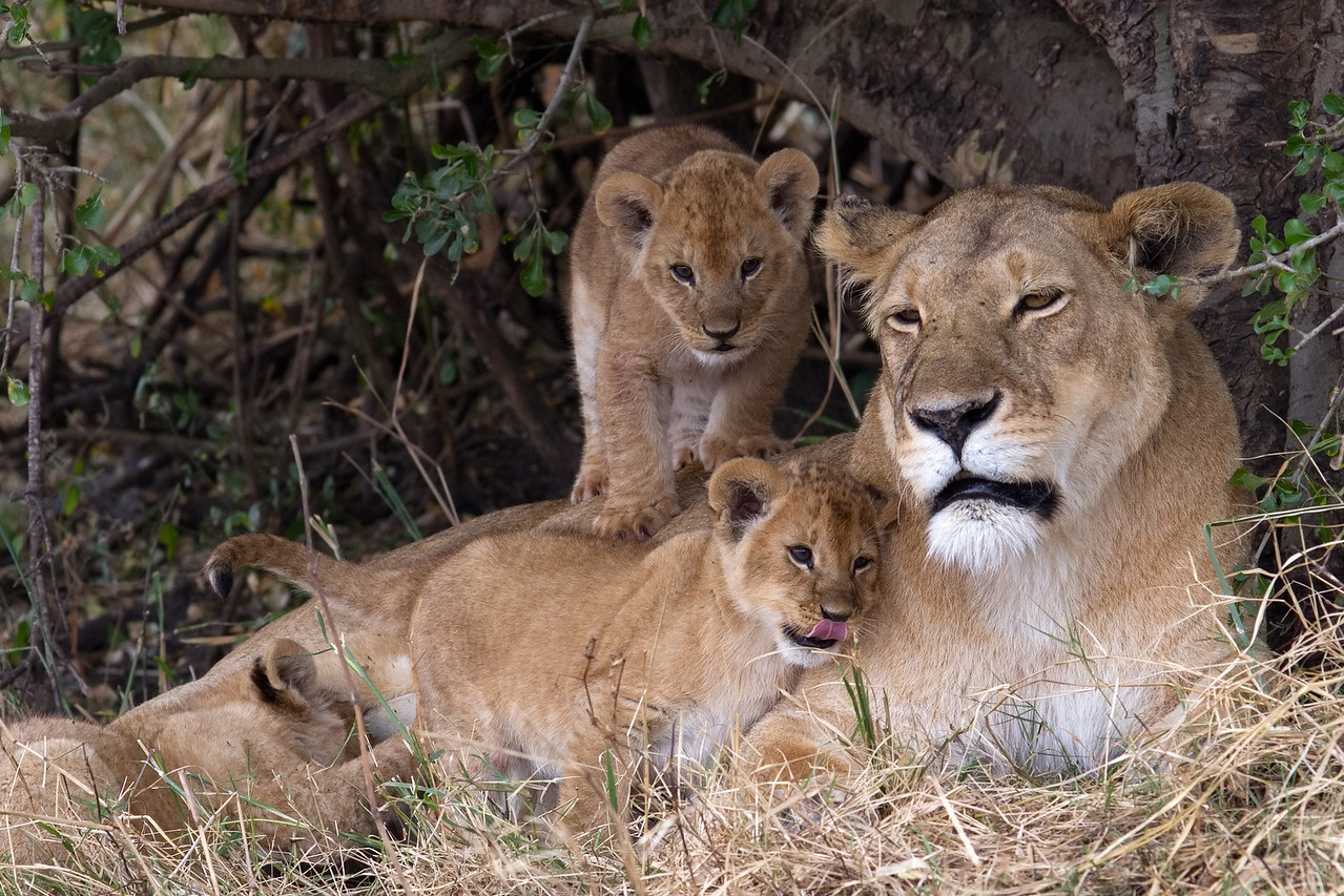 Happy lioness, happy cubs