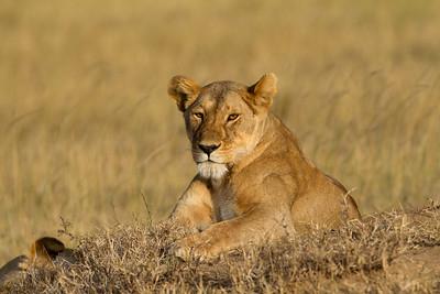Namiri lioness