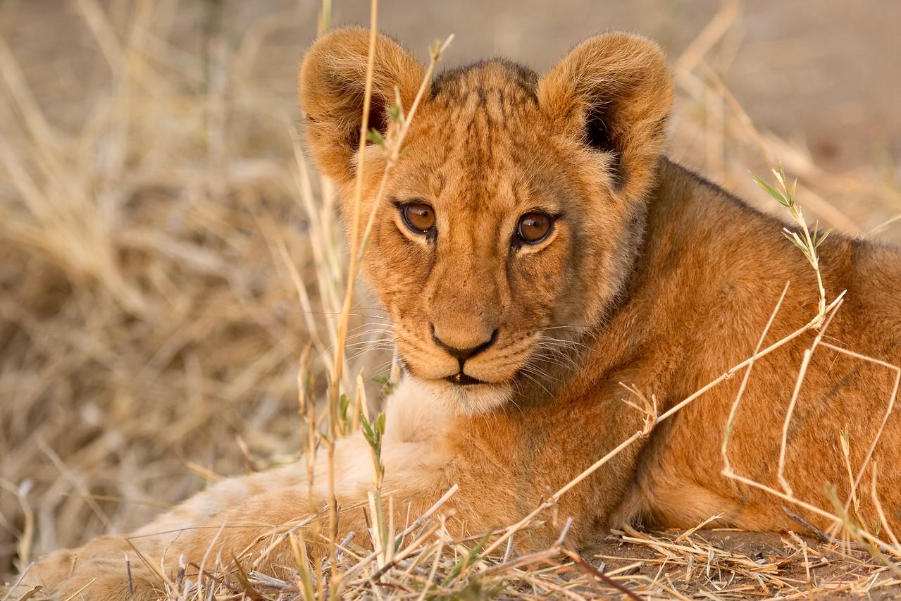 Curous lion cub