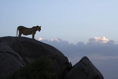 Lioness atop a kopje