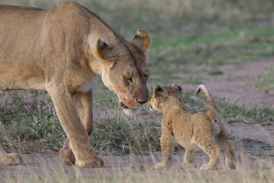 Gentle lioness mother and cub