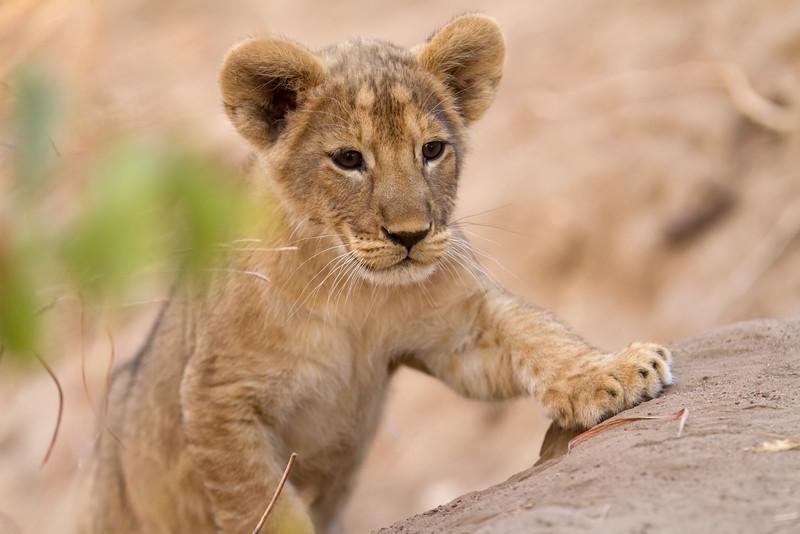 Lion cub climbs the dry river embankment