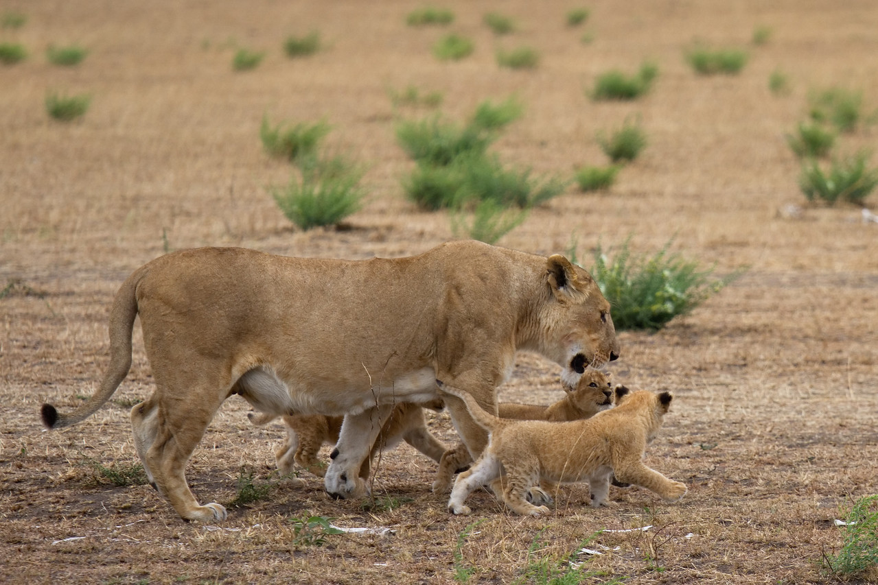 Leading her cubs to her kill