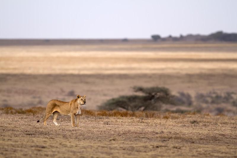 Lioness prowling Namiri Plains
