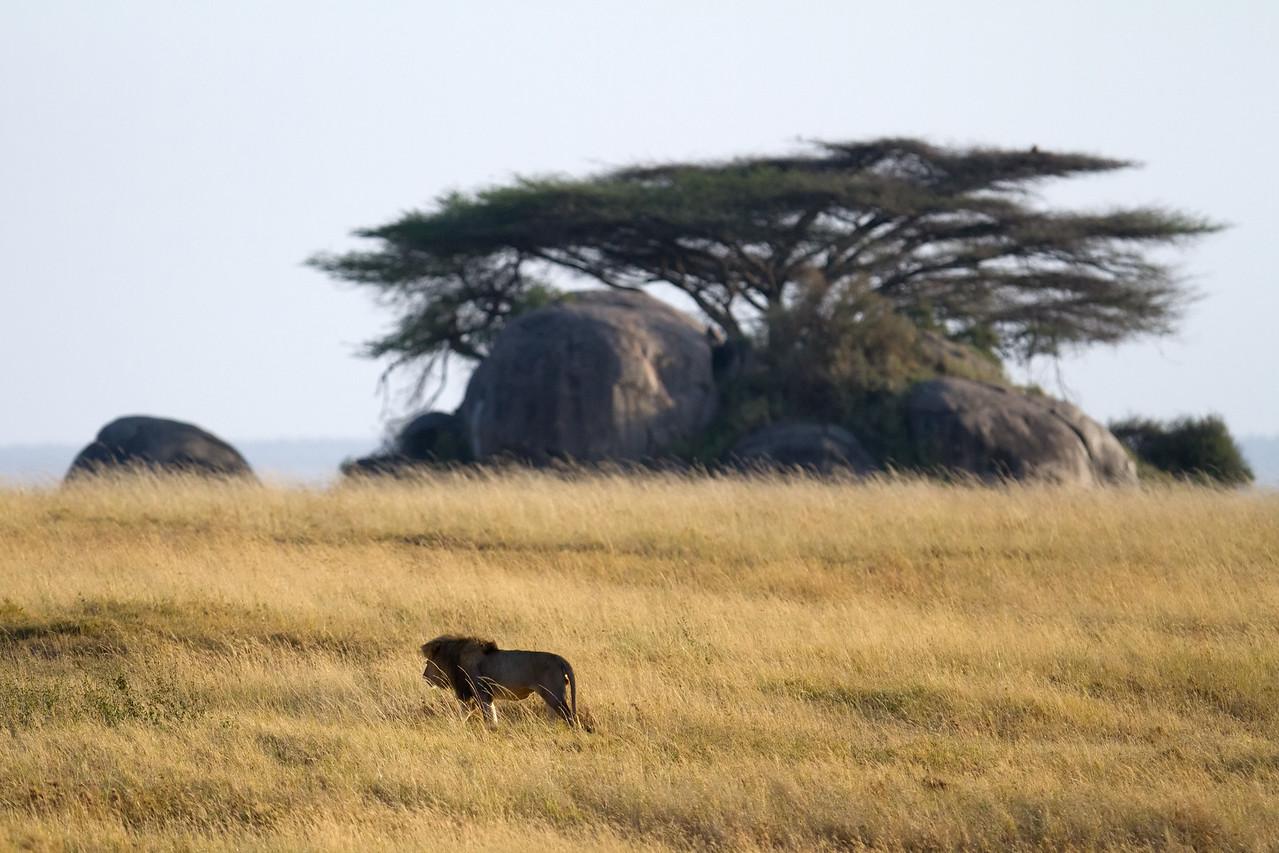 Male lion roams the plains