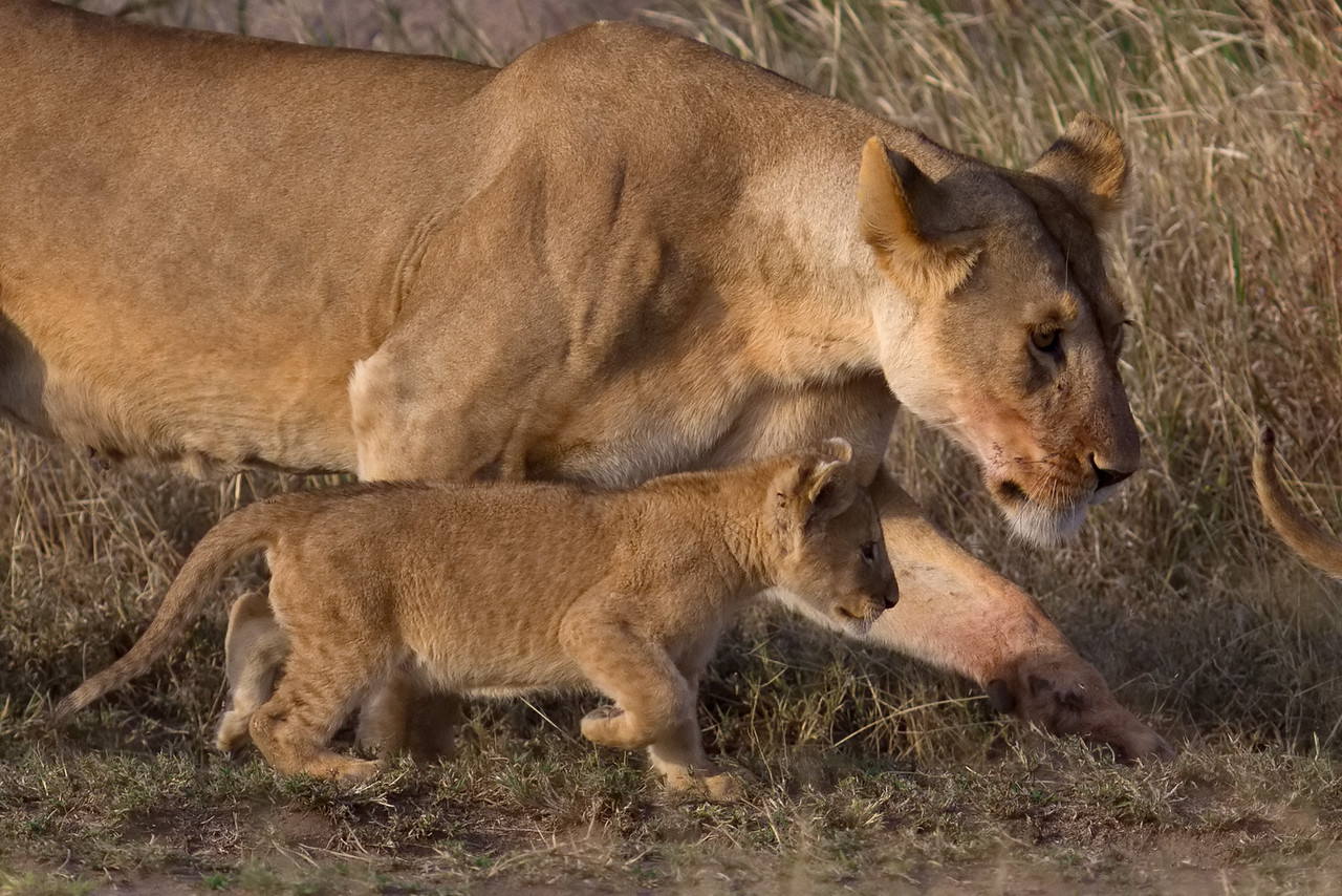 Lioness takes her cubs for a walk around their kopje