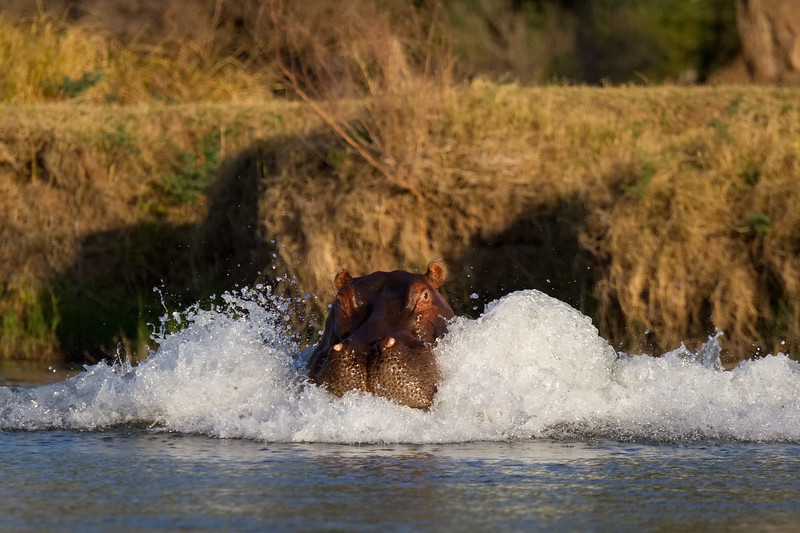 Hippo charges our canoe