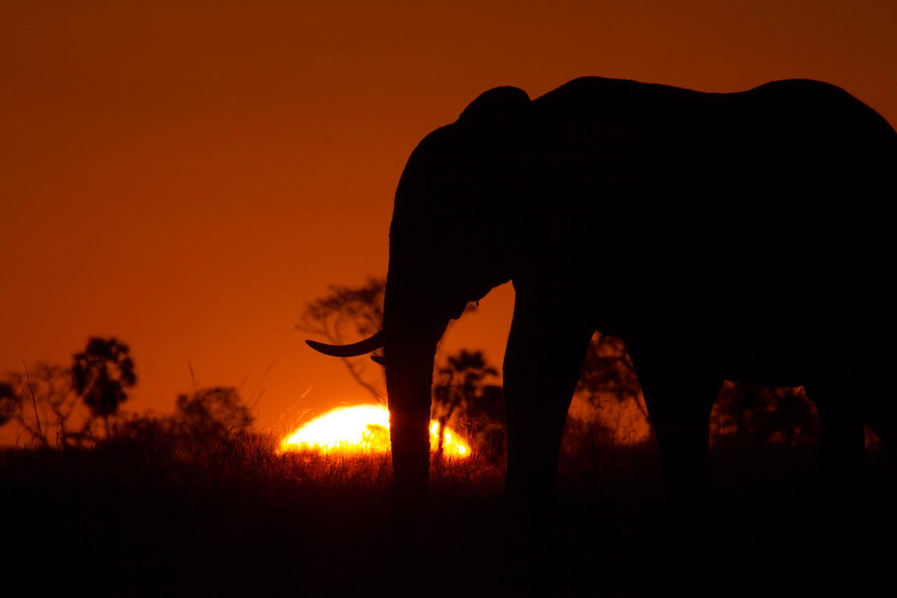 Lone bull at sunset