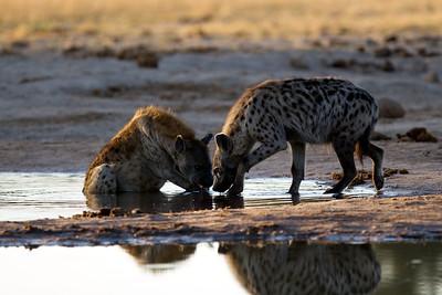 Hyenas in the morning