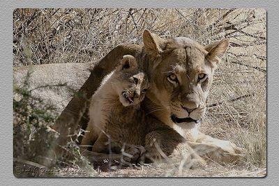 """""""Laços de família - Family ties"""" Leoa e filho Lioness and son"""