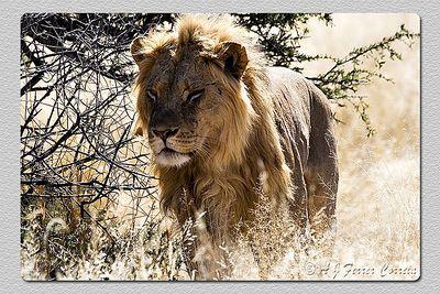 Leão: macho jovem - Panthera leo Lion: young male