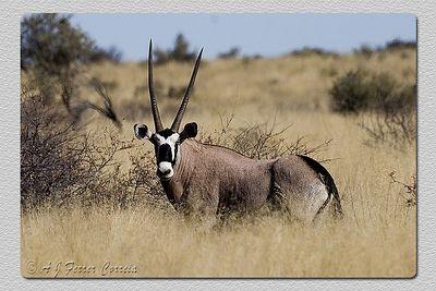 Orix - Oryx gazella Gemsbok
