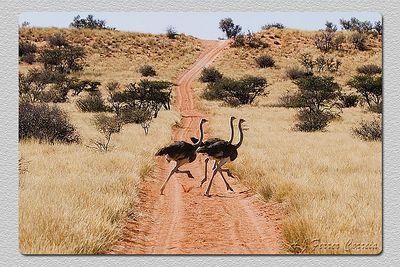 Avestruzes juvenis - Struthio camelus Juvenile ostriches