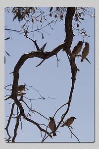 Tecelões gregários - Philetairus socius Sociable weavers