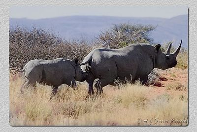 "Laços de família II - Family ties II Rinoceronte ""preto"" - mãe e filha ""Black"" (hook-lipped) rhino - mother and daughter"