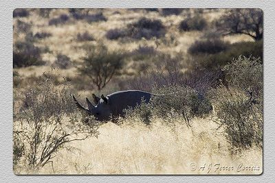 "Rinoceronte ""preto"" - Diceros bicornis ""Black"" (hook-lipped) rhino"