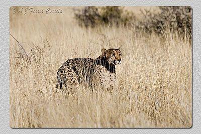 """""""Onde está o almoço? - Where is lunch?"""" Guepardo - Acinonyx jubatus Cheetah"""