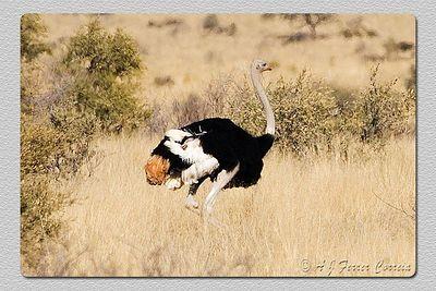 Avestruz comum - Struthio camelus Common ostrich