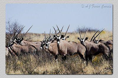 Orix - Orix gazella Gemsbok