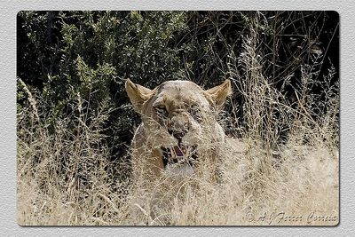 """Leoa: """"Vão-se embora!"""" Lioness: """"Go away!"""""""