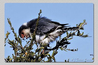 Falcão pigmeu - Polihierax semitorquatus Pygmy falcon