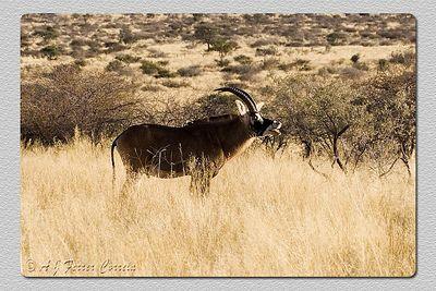 Roan antelope - Hippotragus equinus