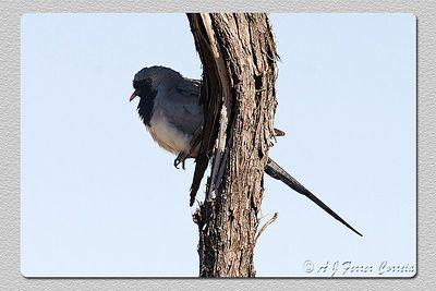 Rôla da Namáqua - Oena capensis Namaqua dove