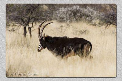 Palanca - Hippotragus niger Sable antelope