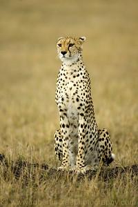 """Clasic Cheetah"" - Award Winner"
