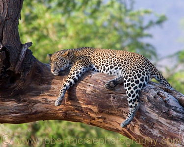 """Let Sleeping Leopards Lie"" - Award Winner"