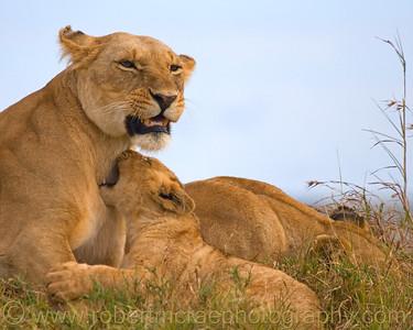 Marsh Pride Lions