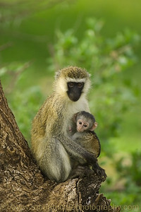 """Vervet Monkey and Baby"" - Award Winner"