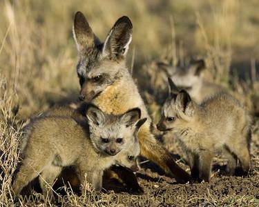 """Bat-eared Fox Family"" - Award Winner"