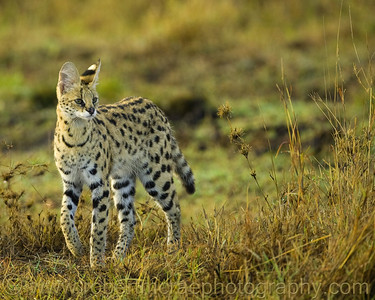"""""""Serval Walking"""""""