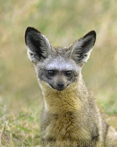 """Bat-eared Fox Portrait"""