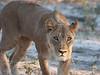 Lioness stalking past the safari vehicle.