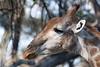 male giraffe profile