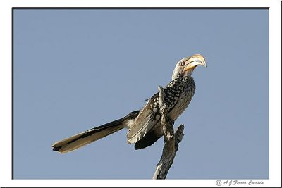 "Yellow hornbill (""flying banana"") - Tockus leucomelas"