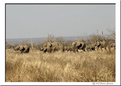 Elefantes - Loxodonta africana - Uma manada de cerca de 30 Elephant - Herd of about 30 animals