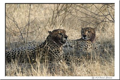 Guepardo - Acinonix jubatus - metade de uma coligação de machos Lion - half of a male coallition