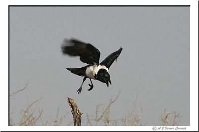 Corvo preto-e-branco - Corvus albus Pied crow