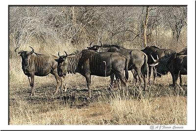 Gnu - Connochaetes taurinus Blue wildebeest